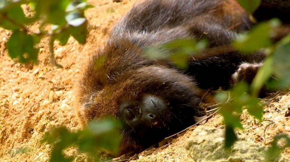 Macacos infectados por febre amarela indicam a circulação do vírus da doença (Foto: Reprodução/TV Gazeta)