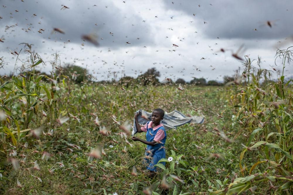 A filha de um fazendeiro tenta afastar um enxames de gafanhotos de sua plantação na aldeia de Katitika, no Quênia — Foto: Ben Curtis/AP