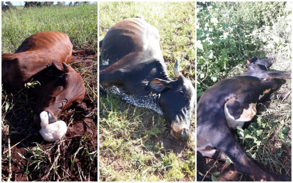 Conforme relato à polícia, a vaca se encontrava morta e as novilhas agonizando. (Fotos: Arquivo Pessoal/Divulgação)