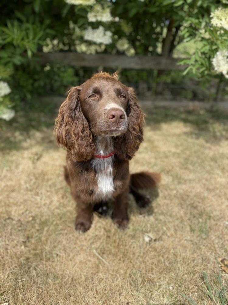 Norman é um dos seis cachorros em treinamento para detectar a Covid-19 (Foto: Twitter Medical Detection Dogs)