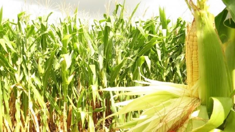 Medida estimula operações internas e viabiliza a manutenção de maior quantidade de milho no Estado - Foto: Carine Massierer / Emater / Arquivo