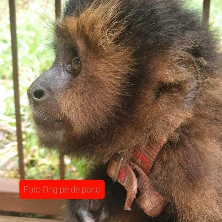 Macaco-prego é encontrado acorrentado em cativeiro, na região noroeste