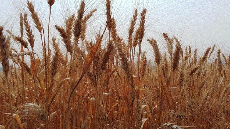 Principal produto da estação, o trigo deverá ter uma produção de 2,89 milhões de toneladas, 37,81% a mais em relação a 2020 - Foto: Deise Froelich – Emater/RS